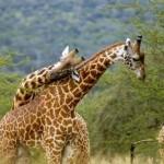 Giraffes-rwanda