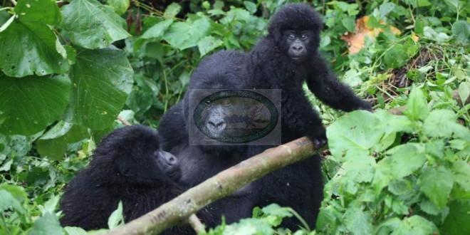 The Mountain Gorillas of Virunga National Park