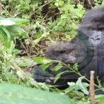 Mountain Gorillas in Volcanoes National Park - Rwanda