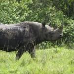 Rhino in Aberdare Natonal Park - Kenya