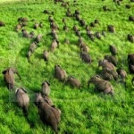 A herd of elephant on a green plain - Garamba, Congo