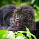 BWINDI Gorilla forest NATIONAL PARK
