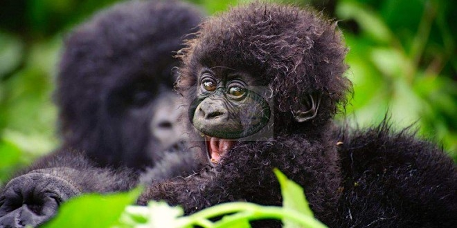 Bwindi Impenetrable Forest – HOme of Gorillas in uganda