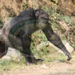 Chimpanzee in Nyungwe Forest by Katherine