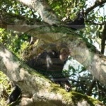 Chimpanzees in Tongo-DRC