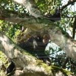Chimpanzees in Tongo-DRC