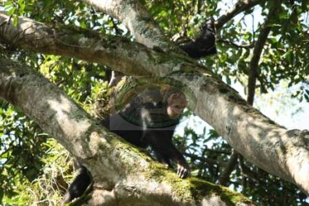 CHIMPANZEE TREKS IN TONGO FOREST, DR Congo