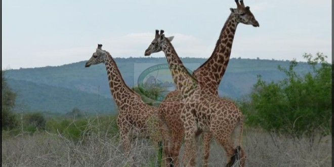 AKAGERA SAFARIS GAME DRIVE: 2Days