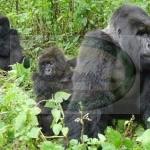 MGAHINGA GORILLA NATIONAL PARK - UGANDA