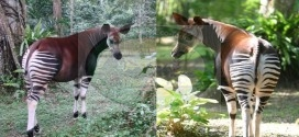 Okapi Wildlife Reserve in DR Congo