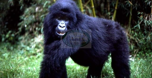 Gorilla and Chimpanzee Trekking Tour: 5 Days/4Nights